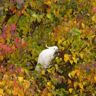 White cockatoo revelling in autumn berries