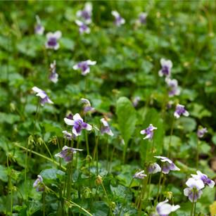 Viola hederacea, Native Voilet