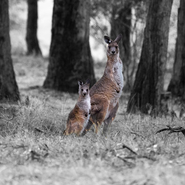 Mum and baby wallaby checking out the intruder