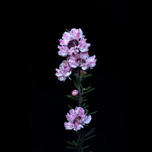 Leptospermum scoparium (?)_7090220.jpg