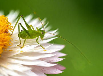 Grasshopper on a paper daisy