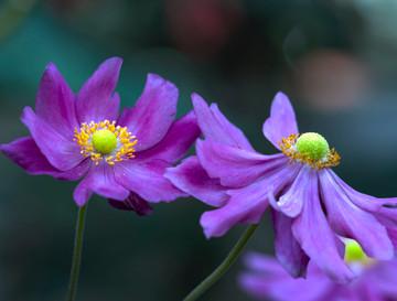 Anemone x hybrida mauve, Killara-.jpg