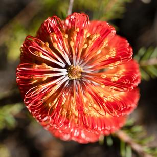 Banksia at Ku ring gai Wildflower Garden, St ives