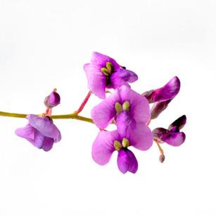 Hardenbergia violacea Plant portrait -81