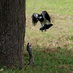 Magpie threatening the goanna