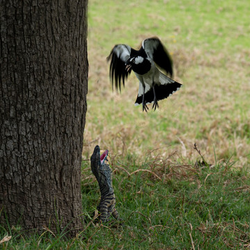 Magpie threatening the goanna