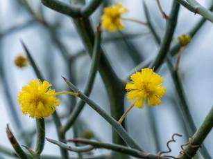 Acacia aphylla in Hunter Garden