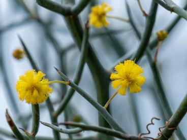 Acacia aphylla_6080179-HDR.jpg