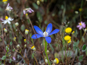Abndant wildflowers at Boyagin Nature Reserve