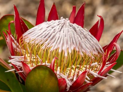 King Protea at Blue Mountains Botanic Garden