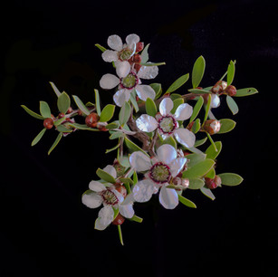 Leptospermum stacked rolling focus Plant