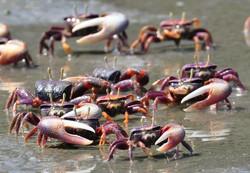 fiddler-crabs[1]