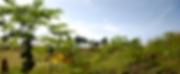 Palmlea Farms, Vanua Levu, Fiji papaya rows on the farm