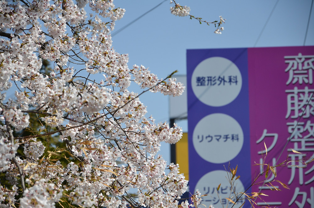 春の嵐もすぎて桜が咲きました