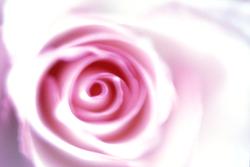 rose117.png