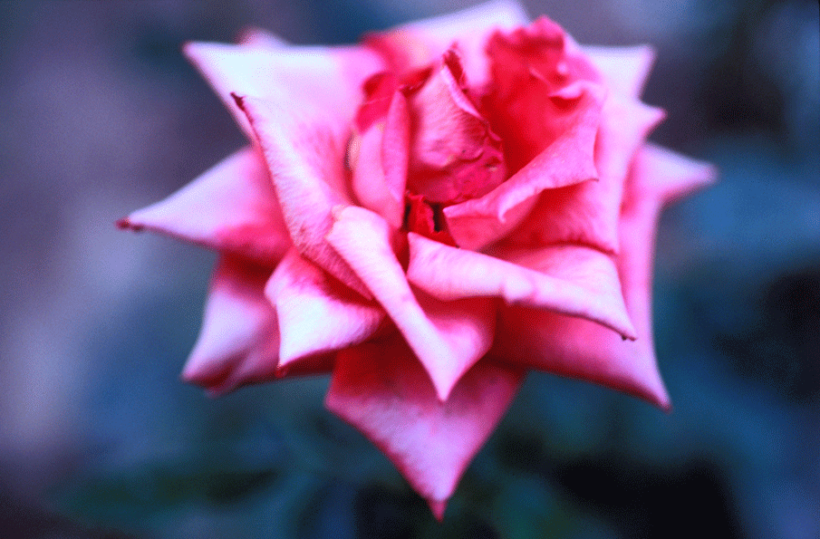 rose072.png