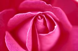 rose001_1.png