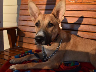 "Adoptable Dog ""Cheyenne"""