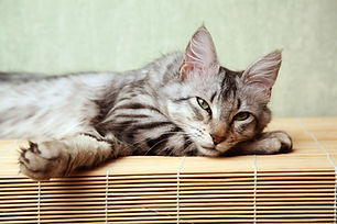 lounging norwegian forest cat
