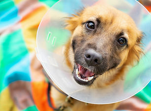 spay neuter castrate cone of shame