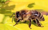 蜜蜂1.jpeg