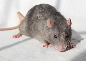 老鼠1.jpg