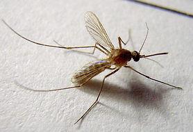 蚊3(1).jpg