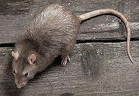 老鼠3.jpg