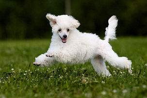 Poodle Miniature playing in grass.jpg
