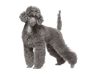 black toy poodle isolated over white bac