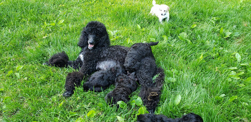 Eleven puppies and Mom's still smiling!