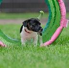 jack-russel-puppy-750608_640.jpg