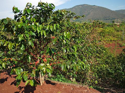Patenschaft für eine Kaffeepflanze