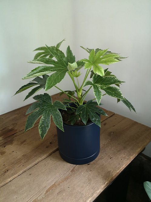 """Aralia Fatsia Variegated 6"""" in Navy Pot with drainage"""