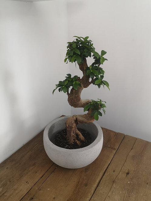 Bonsai Fiscus Retusa S Shape  In Cement Pot