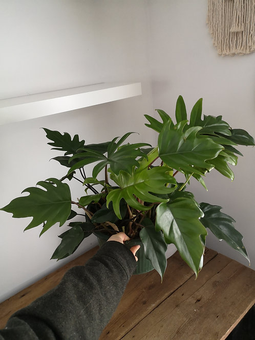 Philodendron Tineke