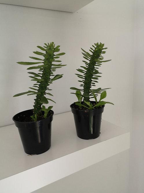 """3.5 """" Euphorbia"""