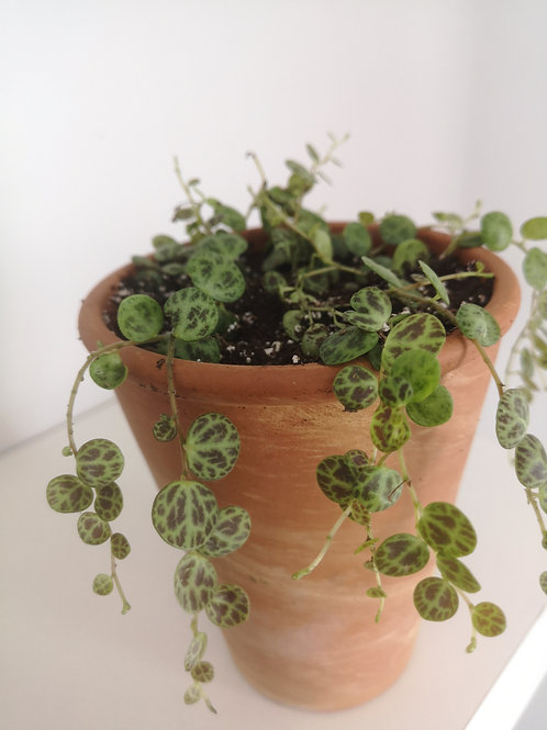 String of Turtles Peperomia