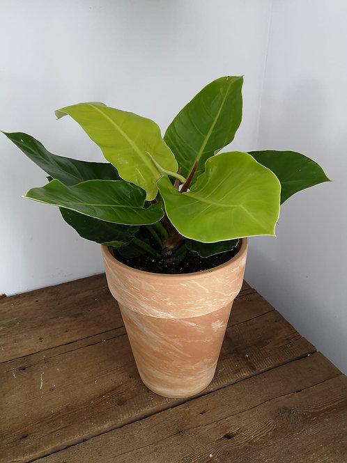 Lemon Lime Philadendron In Terra Cotta Pot
