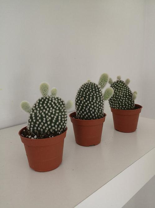 Small Bunny Ear Cacti