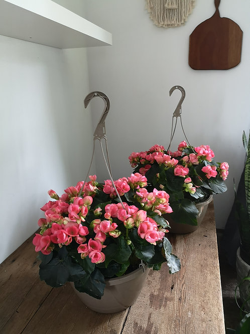 Pink Begonia Basket