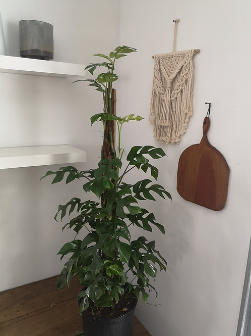 Rhaphidophora Tetrasperma Totem