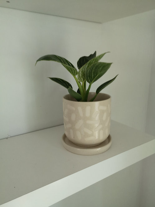 Philodendron Birken in a beige ceramic pot with drainage.