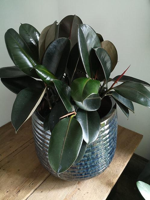 Dark Rubber Tree in Ceramic Pot