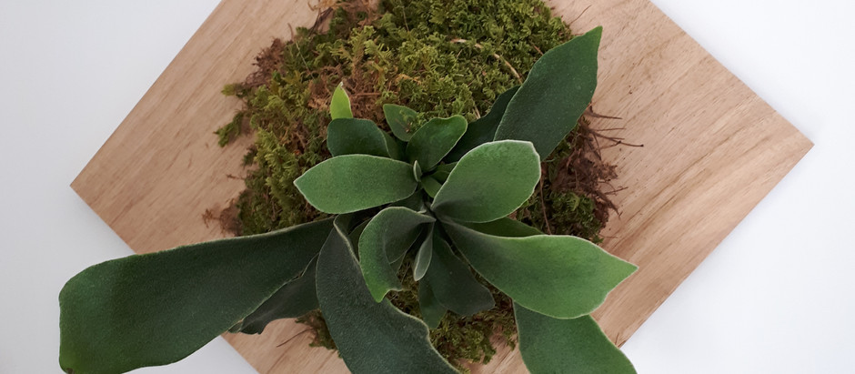 Mounted Staghorn Fern (Platycerium)