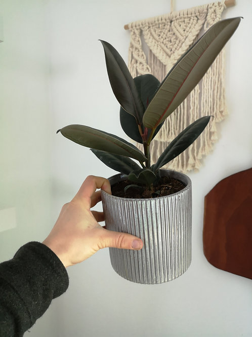 Rubber Tree in Curio Pot with drainage hole and tray