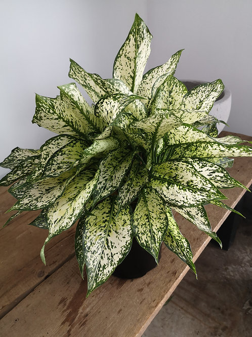 Aglaonema Spring Snow (Chinese Evergreen)