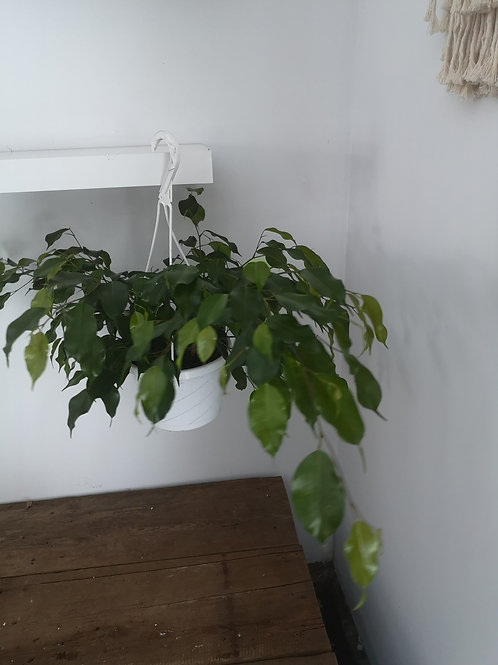 Fiscus Benjamina Hanging Basket