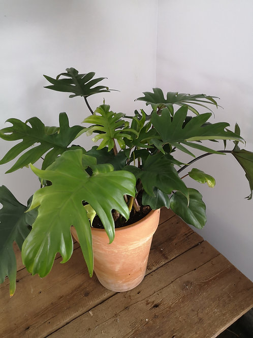 Philodendron Tineke In Terra Cotta Pot