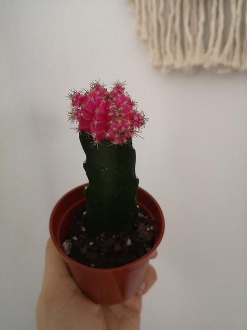 Moon Cacti Pink